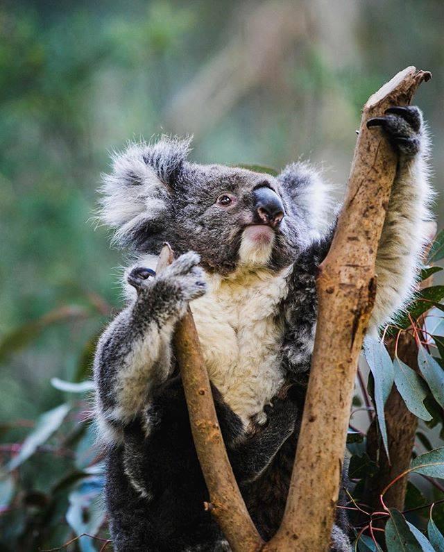 koalas at Tidbinbilla Nature Reserve,