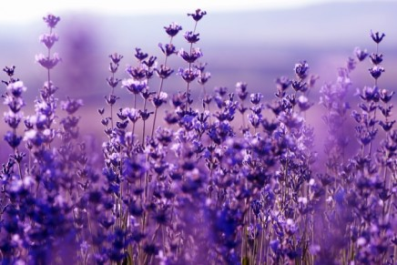 International Perfume Foundation announces Lavender Essential Oil Judging for Year 2016