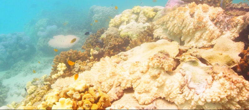 mass bleaching events Great Barrier Reef