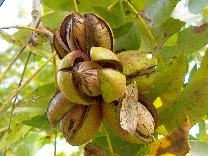 pecans - The best anti-aging foods that keep you young and active