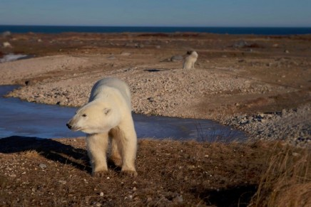 This is the polar bear capital of the world, but the snow has gone