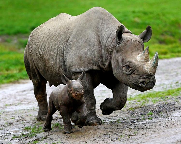 rhinos endengered species