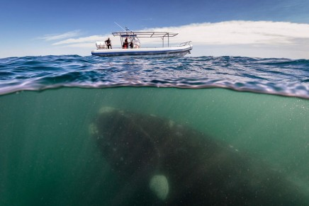 Revealed: whale-watching boats the greatest collision threat to whales