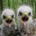 wildlife around chernobyl
